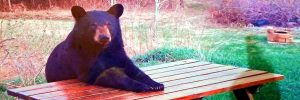 Maine picnic table bear