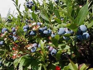 Rake Some Fresh Maine Blueberries!