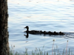 Drafting, Not Unique To NASCAR..Maine Mother Ducks Do It.