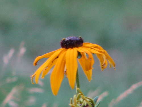 Maine Brown Eye Susans, Other Wild Flowers Plentiful In Maine And Free.