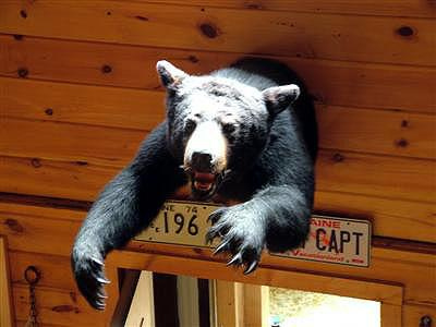 Maine Blackbear, Not Half The Bear He Used To Be.