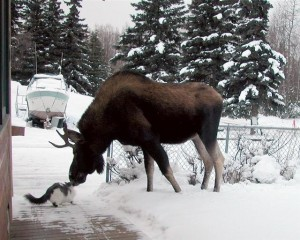 Mr Moose Meets Brave Cat..Touch Noses, Says Hello.