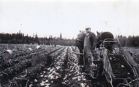 Beautiful Potato Digger Using Horses.