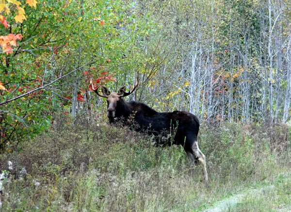 Maine Moose Playing Hide And Seek From Orange Plastered Hunters.