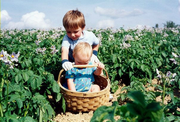 Picking Maine Potatoes Starts Early.