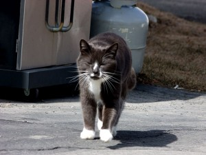 Cats Earn Their Keep In Maine, On Farms, In Barns.