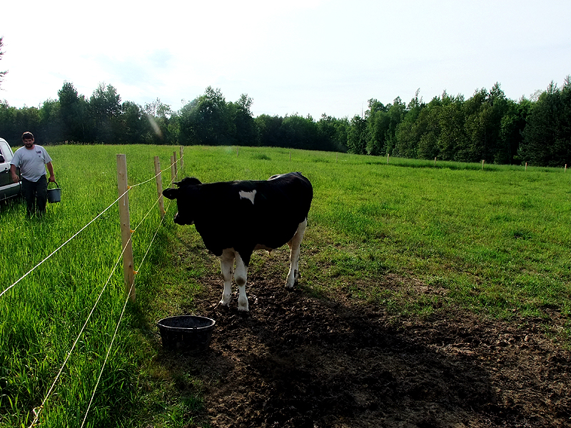 One Maine Cow, Plenty Of Grain, Clean Water, Pature Grasses.