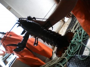 Maine Lobsters, Some Too Big, Or With Notched Tails Have To Return To The Ocean.