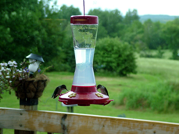Maine Humming Birds Take A Pit Stop For A Little Lunch.