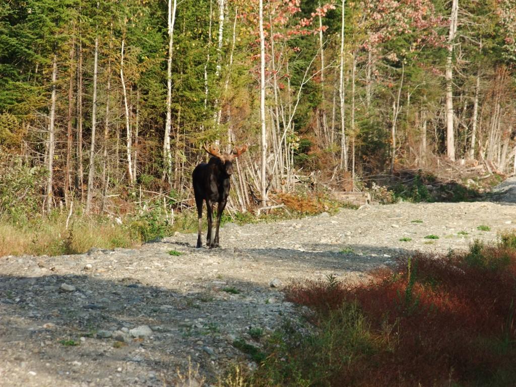 Meet Your New Maine Four Legged Neighbor.
