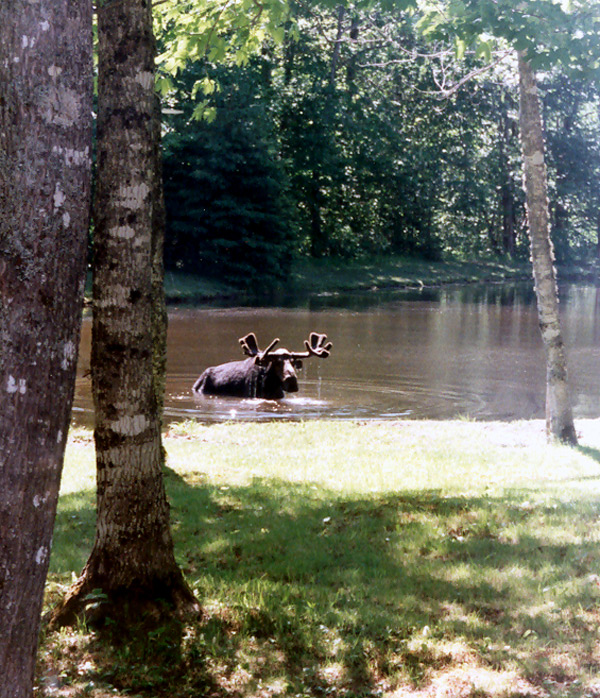 Saturday Afternoon Bath Time For Mr Maine Moose.
