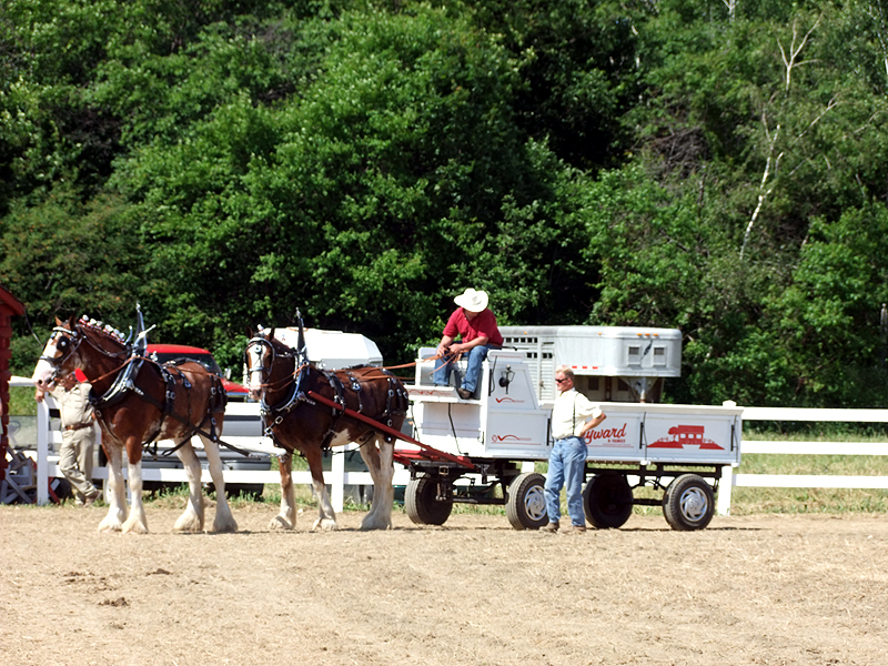 Clucking, Whistling, Yelps... To Guide The Maine Horse Teams.