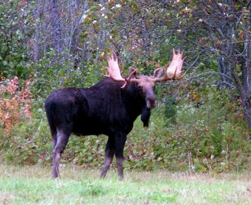 "Maine Is More Wildlife, Like Majestic Moose, Deer, Other ""Neighbors""."