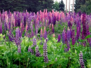 Lovely Lupines, Spread By Bees Pollinating.