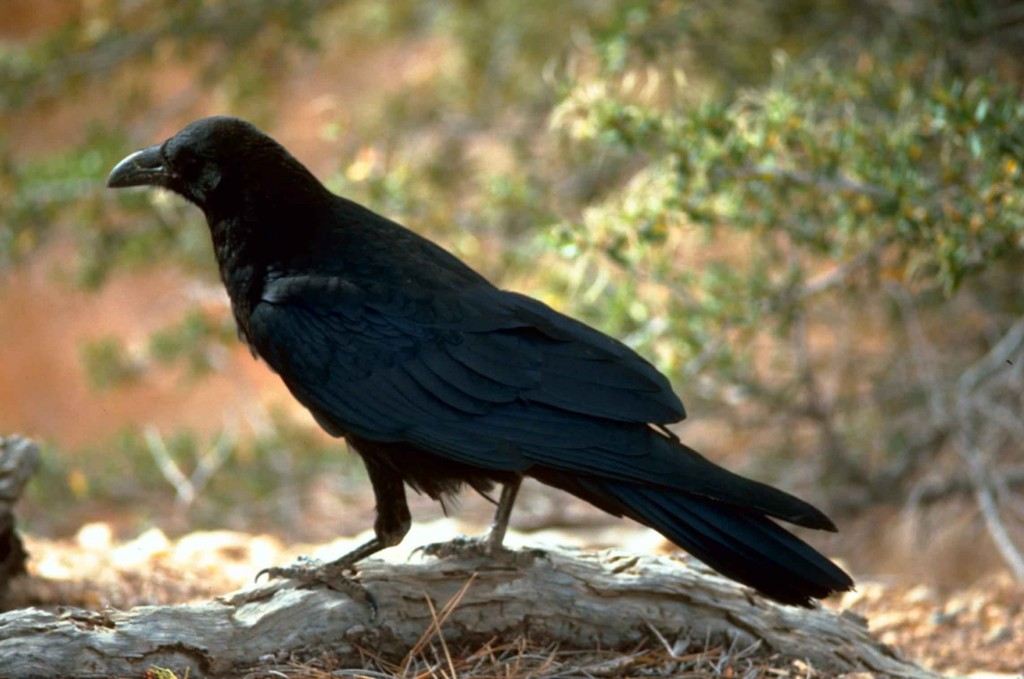 More Black Birds, Ravens, Crows In Maine.