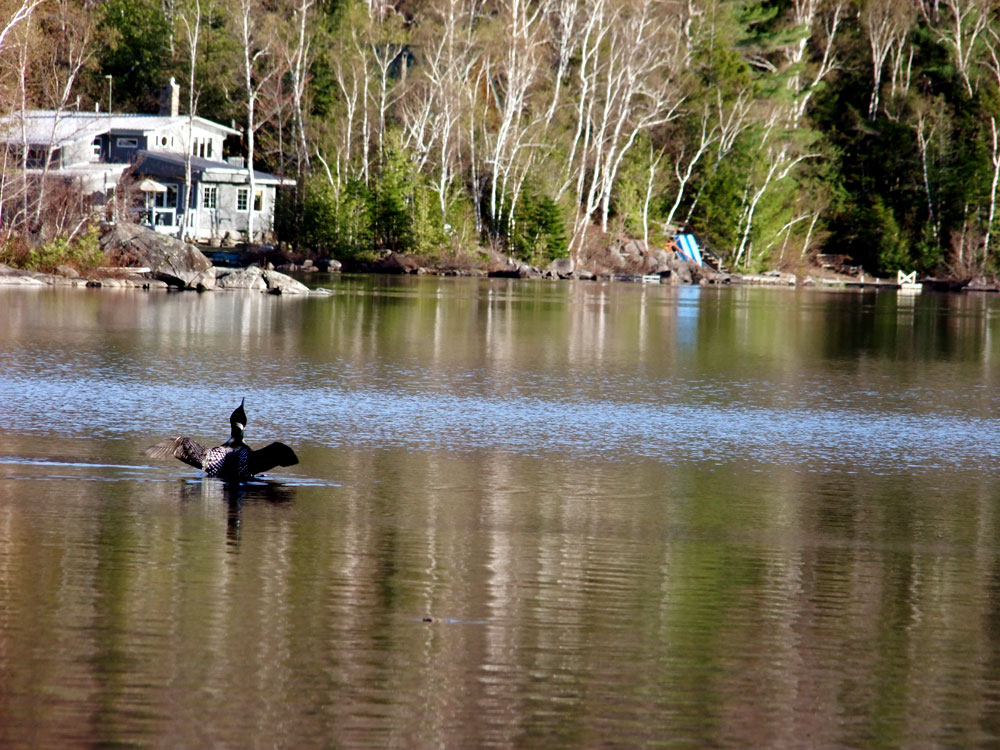 Maine Lake Loons, Three Kinds In Vacationland