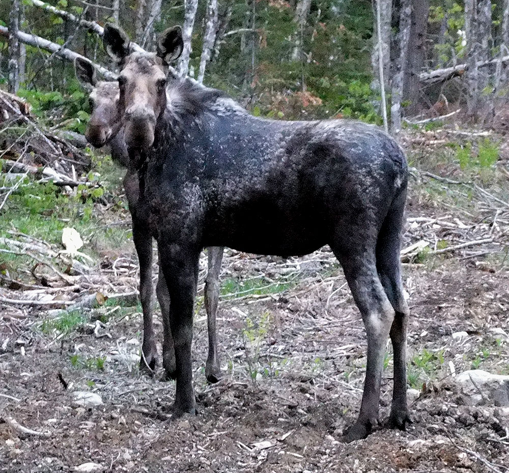 Maine Moose, Pair Of Animals.