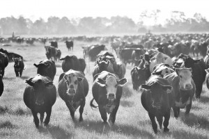 cattleherd