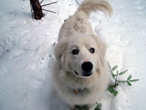 Maine Dog Plays In Winter Snow.