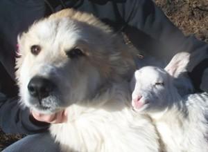 Dog And Farm Baby Lamb Photo