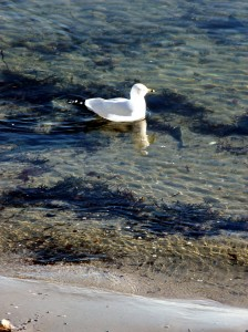 Maine Sea Gull Paddling.