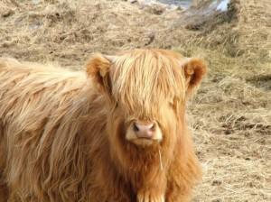Maine Cows, Needing Haircuts.