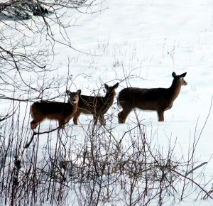 Maine White Tail Deer