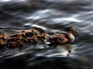 Maine Ducks On Lake Photo