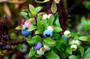 Maine Blueberries, Wild Ones.