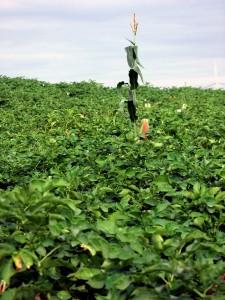 Maine Farm Field, Potatoes, Corn Too!