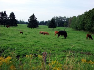 Maine Farm Fields With Cows.