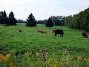 Maine Farm Fields With Cows.