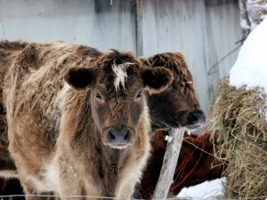 Maine Farm Cows.
