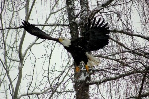 Maine Bald Eagle Takes Flight.