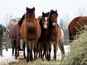 Maine Horses Together.