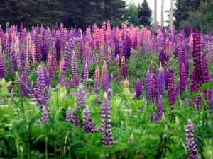 Maine Lupine Wildflowers