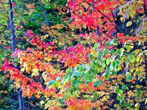 maine fall foliage peak colors