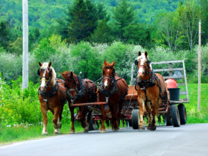 amish farm horses in Maine