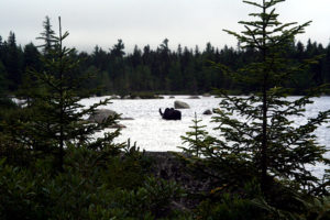 maine moose in lake photo