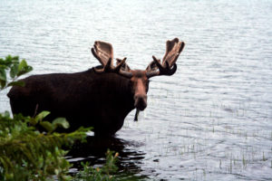 maine moose eating in lake photo