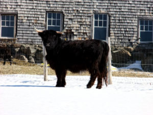 maine farm bull winter photo