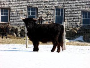 maine farm bull winter photo