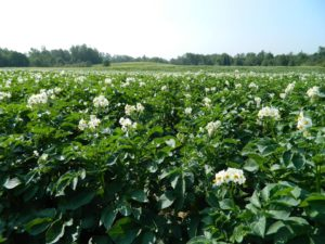 maine food farms, potato fields