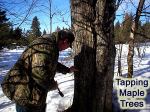 tapping maple trees in maine for sap
