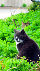 maine cats in vegetation