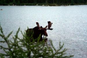 maine moose baxter state park