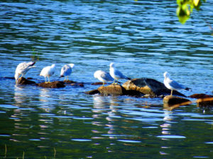 maine sea gulls