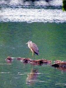 Maine Lake Herons.