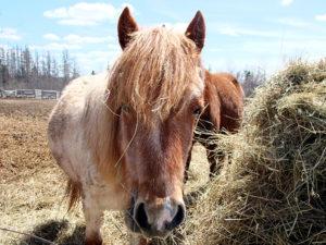 maine horses