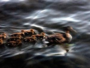 maine lake ducks